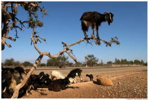 goatintree